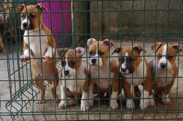 chiots americain staffordshire terrier