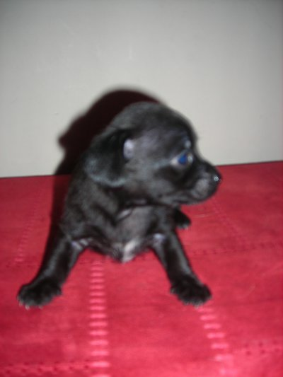 Petit male noir bleu a réserver pour mi novembre
