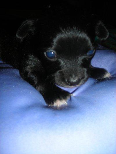 Petite femelle chihuahua a réserver pour la mi novembre