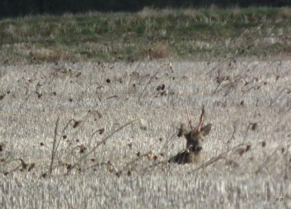 Chevreuils de plaine .