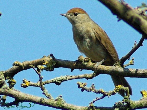 La fauvette t te noire blog de oiseaux nature57 for Oiseau marron