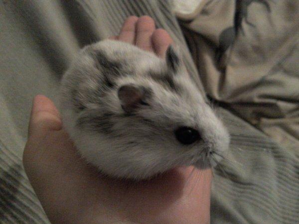 Cerise Yuna Cristale et Kiwi Yuki Crunchy: Mes deux Hamsters