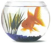 La vérité sur le poisson rouge !