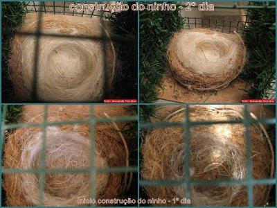 Primeiro ninho de pintassilgo major