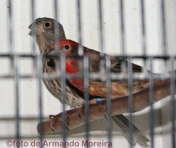 Casal de Pintarroxos do México  (Carpodacus mexicanus)