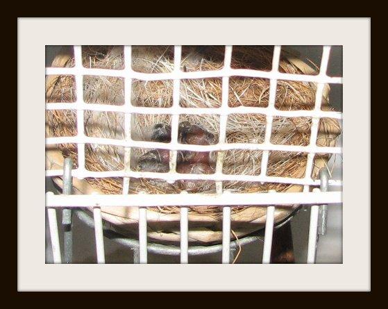 Nasceram 3 crias de Serinus mozambicus!