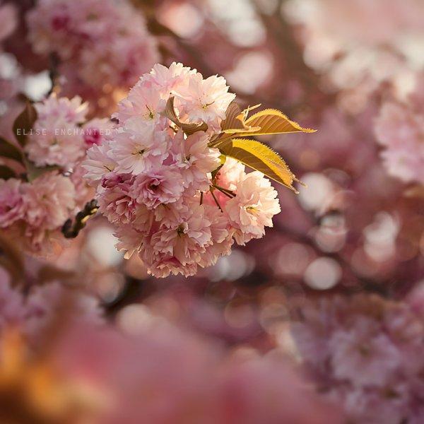 La floraison des cerisiers ne dure pas. L'essentiel on l'attrape en une seconde. Le reste est inutile.