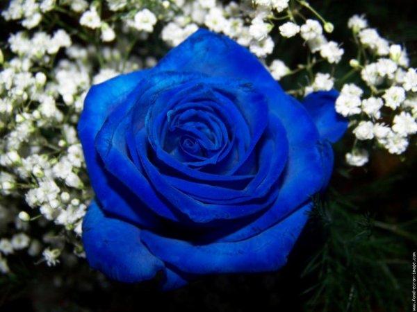 la plus belle des fleurs!!!ma préférée