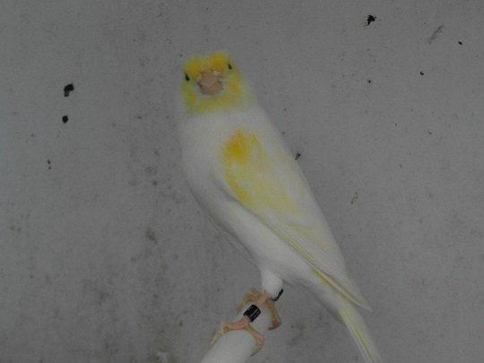 lipos mosaique jaunes de cette année