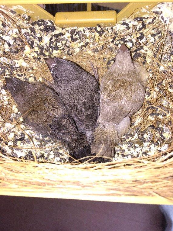 Jeunes au nid