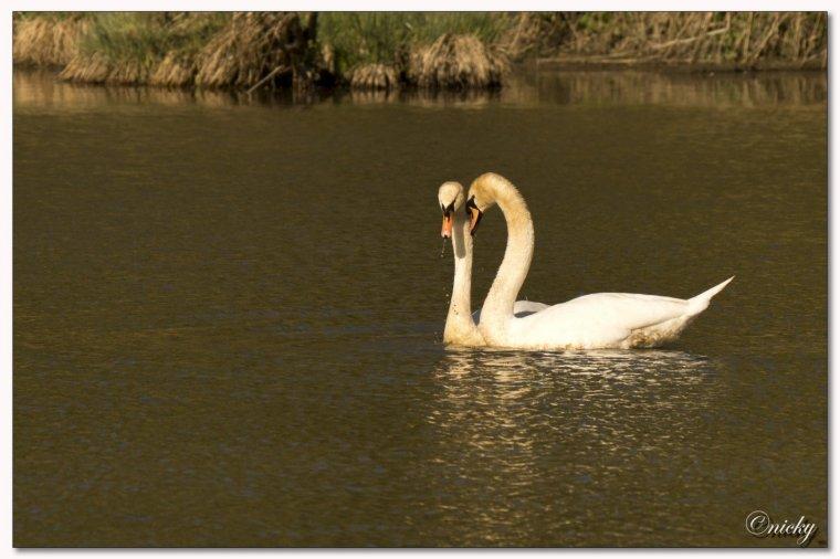 la saison des amours chez les cygnes