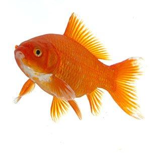 Le poisson rouge for Poisson rouge a donner