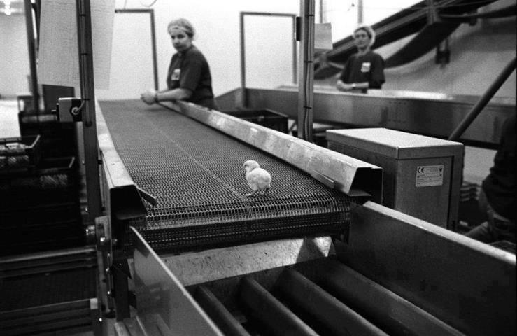 L'industrie meurtrière des oeufs