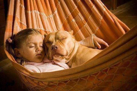 Le cas de l'American Pitbull Terrier