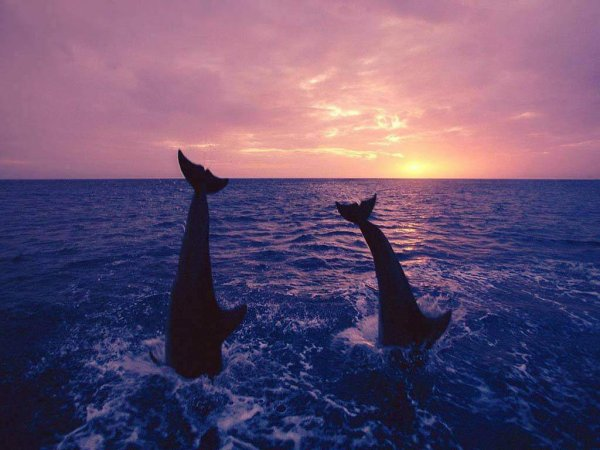 daulphin
