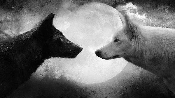 """Un soir, un vieil homme parlait à son fils du combat qui se livre à l'intérieur de chacun de nous. Il l'expliquait comme suit: 'Il y a deux loups en chacun de nous. Le loup du Mal. C'est la colère, l'envie, la jalousie, la tristesse, le regret, l'avidité, l'arrogance, l'apitoiement, la culpabilité, le ressentiment, l'infériorité, le mensonge, l'orgueil, la supériorité et l'ego.. Le loup du Bien. C'est la joie, la paix, l'amour, l'espérance, la sérénité, l'humilité, la bonté, la bienveillance, l'empathie, la générosité, la vérité la compassion . Après y avoir réfléchi pendant un instant, le fils demande: """"Père, quel loup gagne?"""" Le père lui répond simplement: """"Celui que tu nourris."""""""