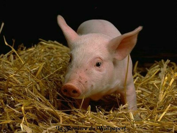 Les Américains ont une histoire d'amour avec la viande de porc.  Nous mangeons des quantités importantes de bacon, de jambon, de saucisses, de pepperoni, etc…   La plupart des gens ne se sont jamais arrêtés à ceci, mais, ils le devraient.  Ce qui suit est un extrait d'un article intitulé « l'influence néfaste de la consommation de porc sur la santé » par le professeur Hans-Heinrich Reckeweg …   « Le fait que le porc est une source de stress et donne lieu à l'empoisonnement est connu.  Il est évident que cela ne s'applique pas aux préparations de viande de porc fraîche comme la charcuterie, les pieds, les côtes et les côtelettes, etc…, mais, aussi à la viande préparée (jambon, bacon, etc…) et les viandes fumées préparées pour les saucisses. »   « La consommation de produits des porcs fraîchement tués suscitent des réactions aiguës, telles que les inflammations de l'appendicite et de la vésicule biliaire, des coliques biliaires, des catarrhes intestinales aiguës, la gastro-entérite avec des symptômes de typhoïde et de paratyphoïde, ainsi que de l'eczéma aigu, des furoncles, des abcès sudoripares, et beaucoup d'autres.  Ces symptômes peuvent être observés après avoir consommé de la charcuterie (y compris le salami qui contient des morceaux de bacon sous la forme de graisse). »   Et, voici quelques raisons pour lesquelles vous devriez réfléchir avant de manger du porc …   • Un porc est une vraie poubelle.  Il va manger n'importe quoi, y compris l'urine, les excréments, les saletés, la chair animale en décomposition, les        asticots, ou des légumes en décomposition.  Ils mangeront même les      tumeurs cancéreuses des autres porcs ou des autres animaux.   • La viande et la graisse de porc absorbent les toxines comme une éponge. Leur viande peut être 30 fois plus toxique que le b½uf ou le gibier.   • Lorsque vous mangez du b½uf ou du gibier, il faut de 8 à 9 heures pour digérer la viande de sorte que les quelques toxines de la viande sont lentement mis dans notre syst