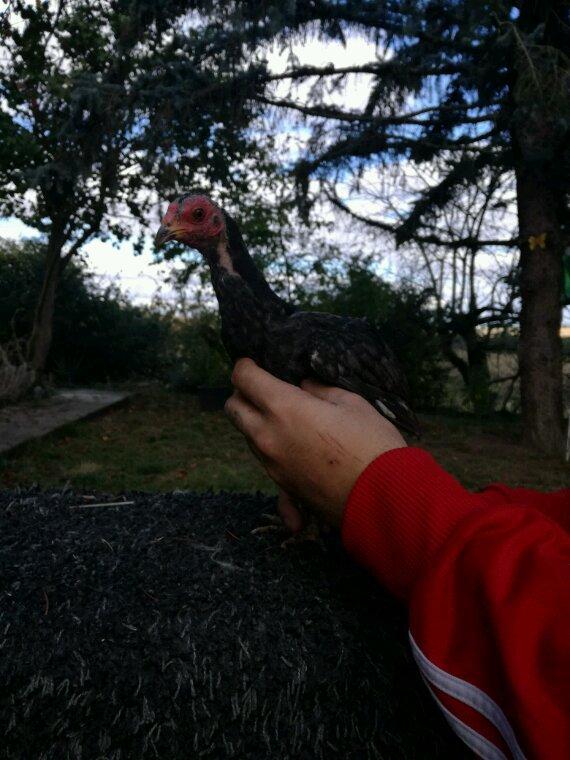 Mait petite coq et poule reunion 1 moi