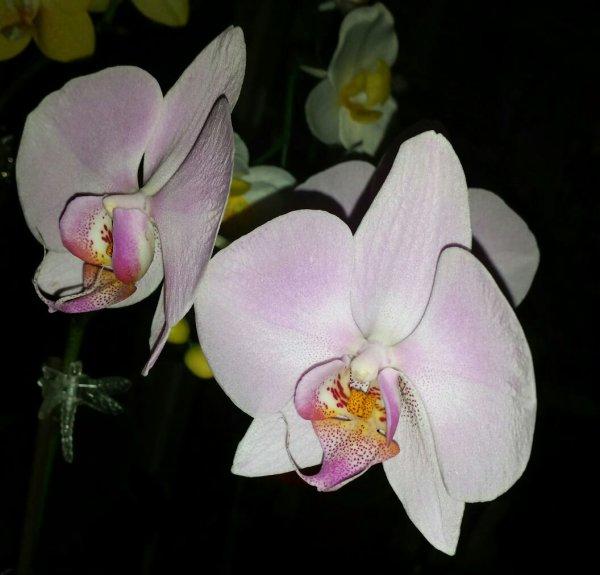 Mes Orchidees En Fleurs Pour Nos 25 Ans De Mariage Le Crochet D Or