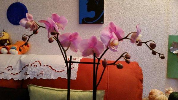 Ma trentième orchidée : Sakura.... reçu en remerciement pour avoir gardé un petit minon