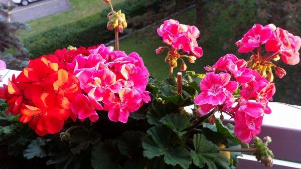Coucher de soleil sur mes géraniums