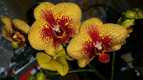 Ma nouvelle et 32ème orchidée. Voici Soleil !