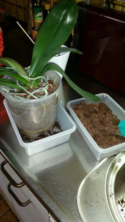 Rempotage de mes orchidées !