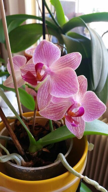 Mes orchidées actuellement en fleurs depuis le début de cet ete