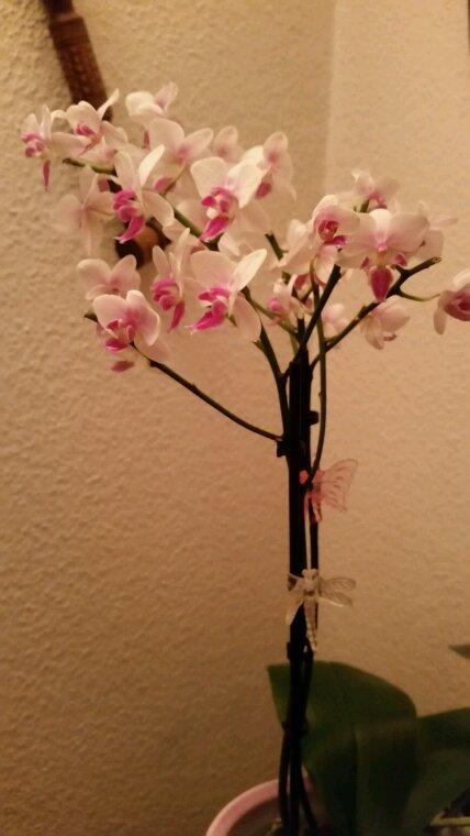 Reçu de mes enfants, cette magnifique orchidée pour mon anniversaire