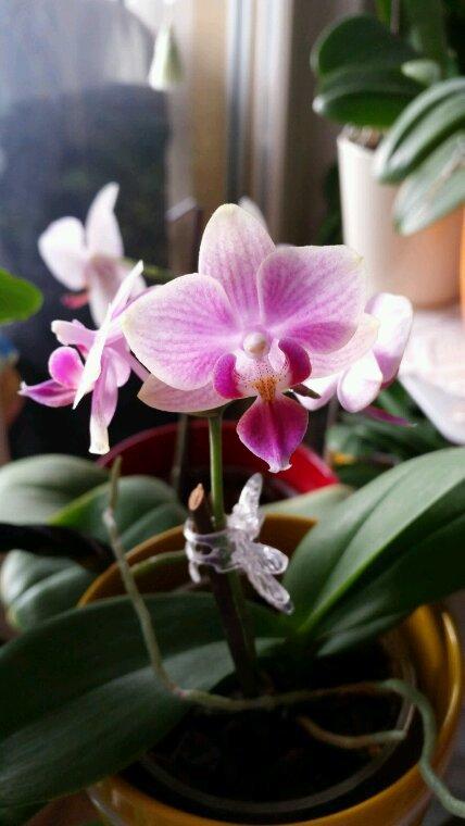 Mes orchidées en fleurs