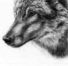 Thème : Loup (concours de Yunhiie)