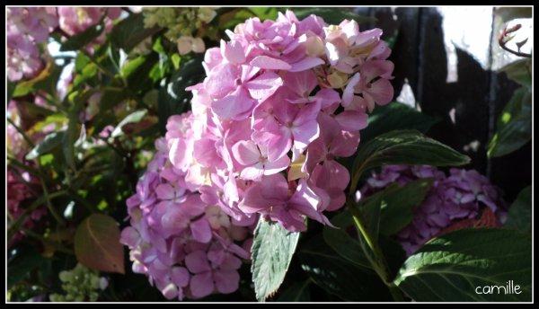 les hortensias , les roses et les paquerettes
