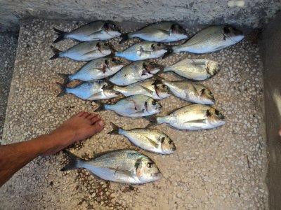 pêche daurade royale