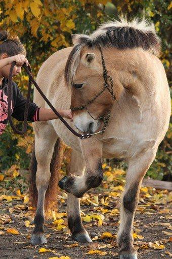 Le cheval Fjord.