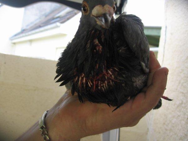 Mon Grizou 159807/13 rentre blessé de Perpignan
