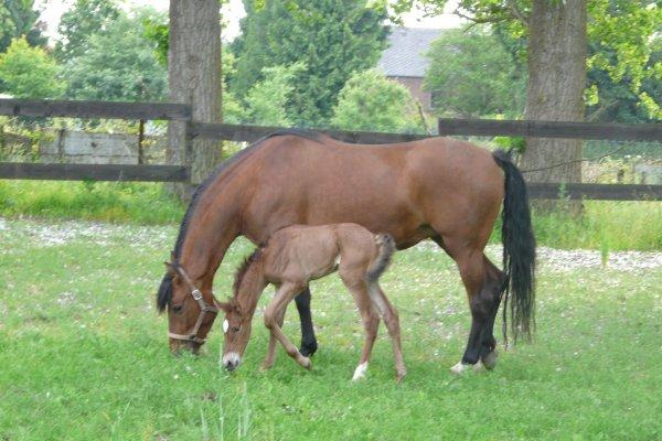 Poulain né le 07/06/2012 mère fille de Armas Tarujo (3x Champion Espagne) et père Utrerano (père de Fuego)
