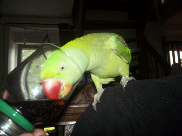 l oiseau d une amie qui me pique mon coca
