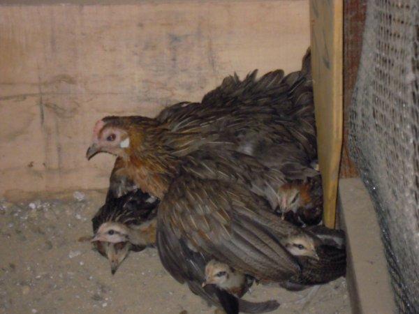 la maman phoenix doré et ses piou-piou