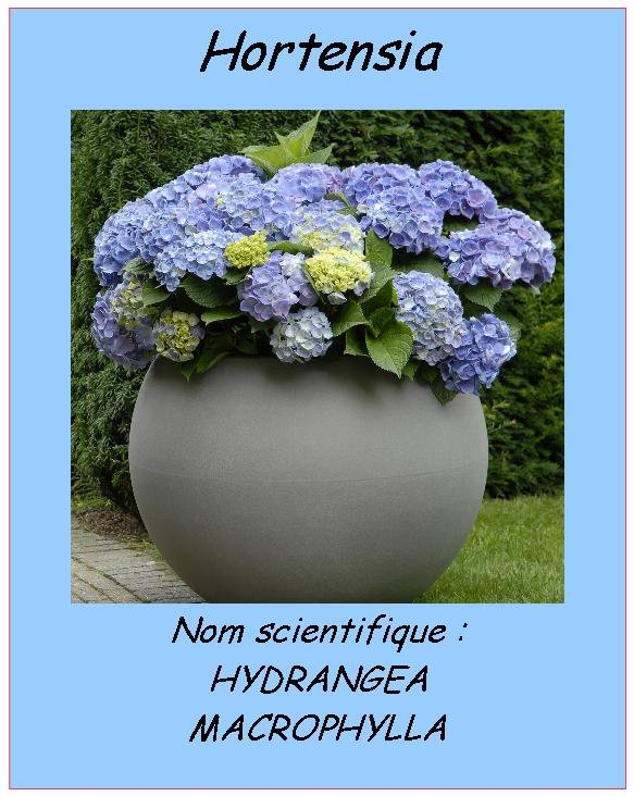 L'hortensia peut aussi etre :