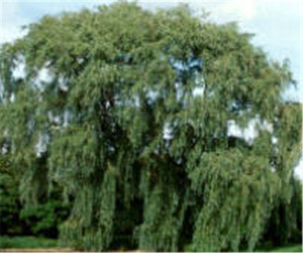 le jardin les arbres saule pleureur paulo 77 devenu paulo 17 ma piscine waterair sa. Black Bedroom Furniture Sets. Home Design Ideas