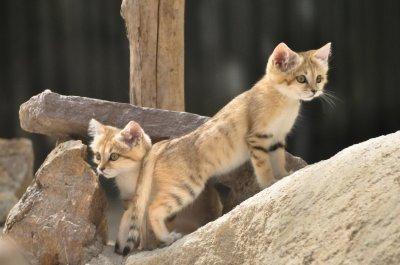 Le chat des sables blog de paradisanimal8 - Chat des sables a vendre ...