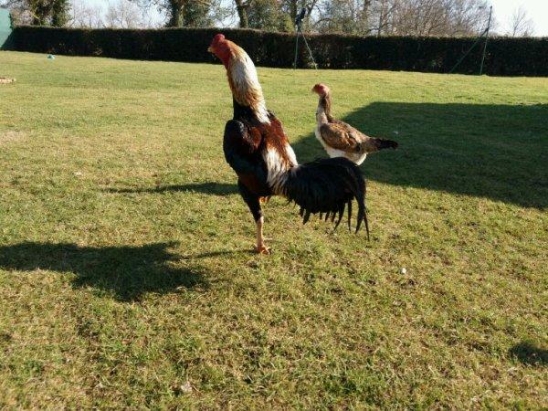Quelque news des coqs et poules
