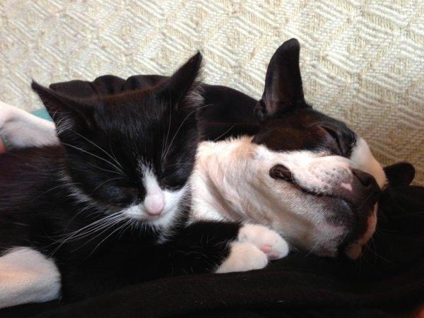 Mon chaton prends mon Boston Terrier pour sa mère
