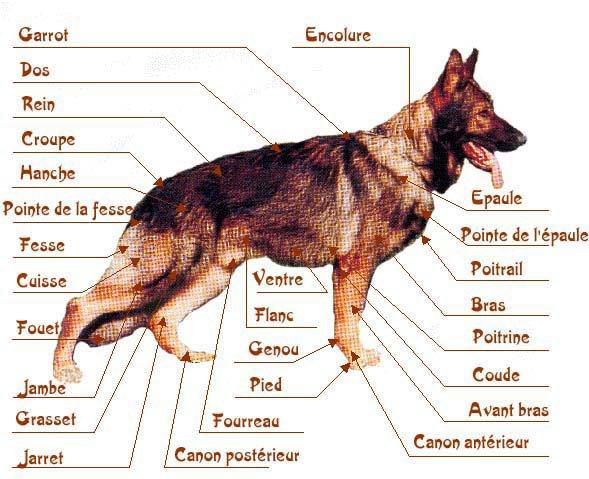 comment mesurer un chien