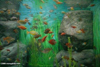 Un aquarium de poissons arc en ciel les poissons for Poisson eau chaude aquarium