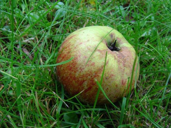 Chaque pomme est une fleur qui a connu l'amour.