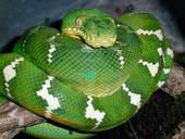 voila le boa emeraude magnifique serpent