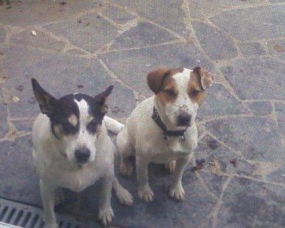 Mes 2 chiens nomis - Race chien volt ...