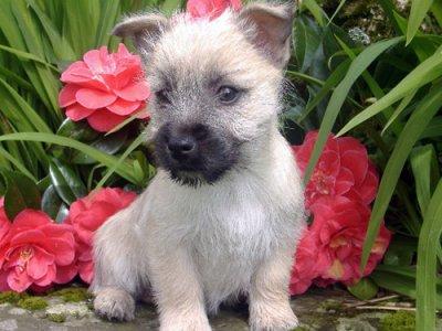 Le cairn-terrier