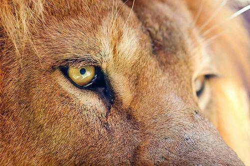 ♕ Le Lion ♕